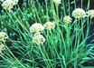 Allium texanum