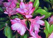 Peggy Ann Evergreen Azalea