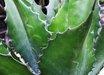 Agave 'Green Goblet'