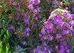 Symphyotrichum novi-belgii 'Tiny Tot'