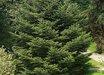 Abies holophylla