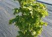 Acer platanoides 'Carlton'