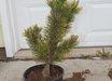 Pinus mugo 'Aurea Fastigiata'