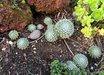 Sempervivum 'Pacific Zoftic'