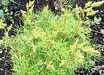 Aruncus 'Fairy Hair' 30242