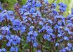 Anchusa capensis 'Blue Angel'