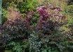 Angelica sylvestris 'Purpurea'