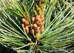 Pinus parviflora [dwarf blue]