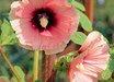Alcea rosea 'Halo Apricot' (Halo Series)