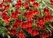 Mimulus 'Jelly Bean Fiesta Marigold'