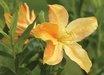 Arneson Golden Solitaire Azalea