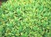 Sedum erythrostictum 'Mediovariegatum'