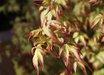 Acer palmatum 'Kiyohime'