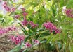 Epimedium grandiflorum 'Red Queen'