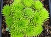 Sempervivum 'Pseudo-Draba'