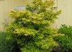 Acer palmatum 'Coonara Pygmy'