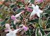 Abelia x grandiflora Confetti® pp8472