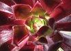 Aeonium 'Strybing Red'