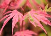 Acer palmatum 'Taylor' PP15943