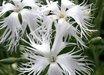 Dianthus arenarius
