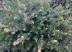 Arctostaphylos densiflora 'White Lanterns'